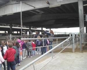 mucche a2 (1)